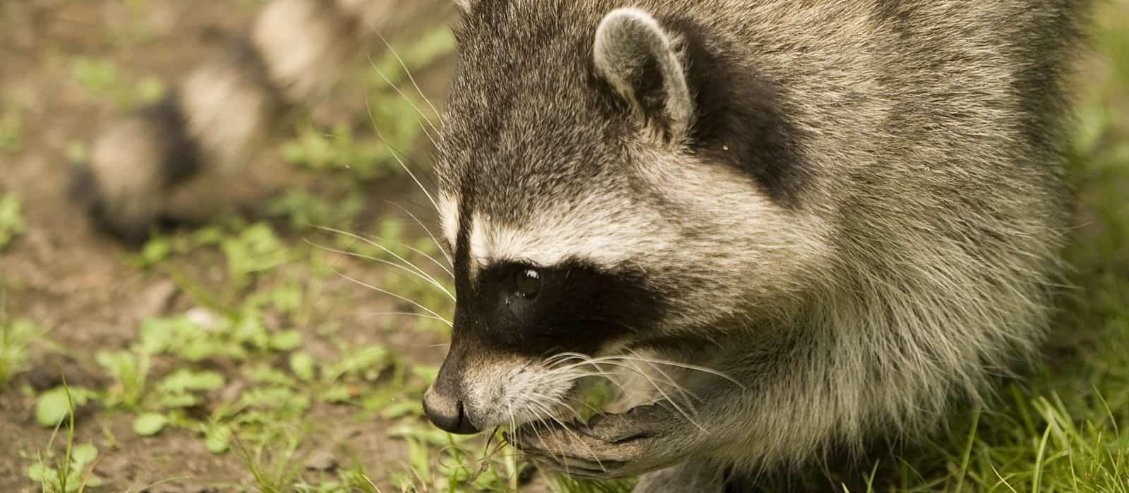 Rodent Wildlife