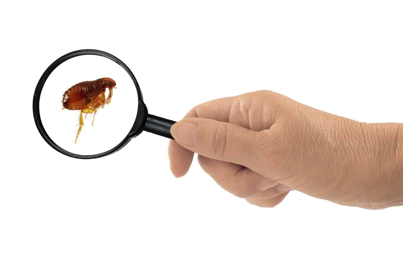 Flea Extermination Options for Your Home