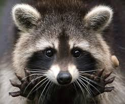Raccoon Home Invader
