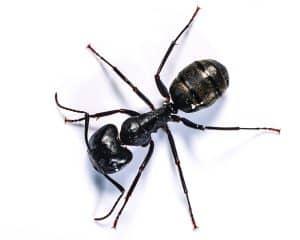 Carpenter Ants Kingwood