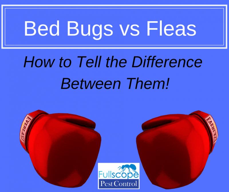 Bed Bugs vs Fleas