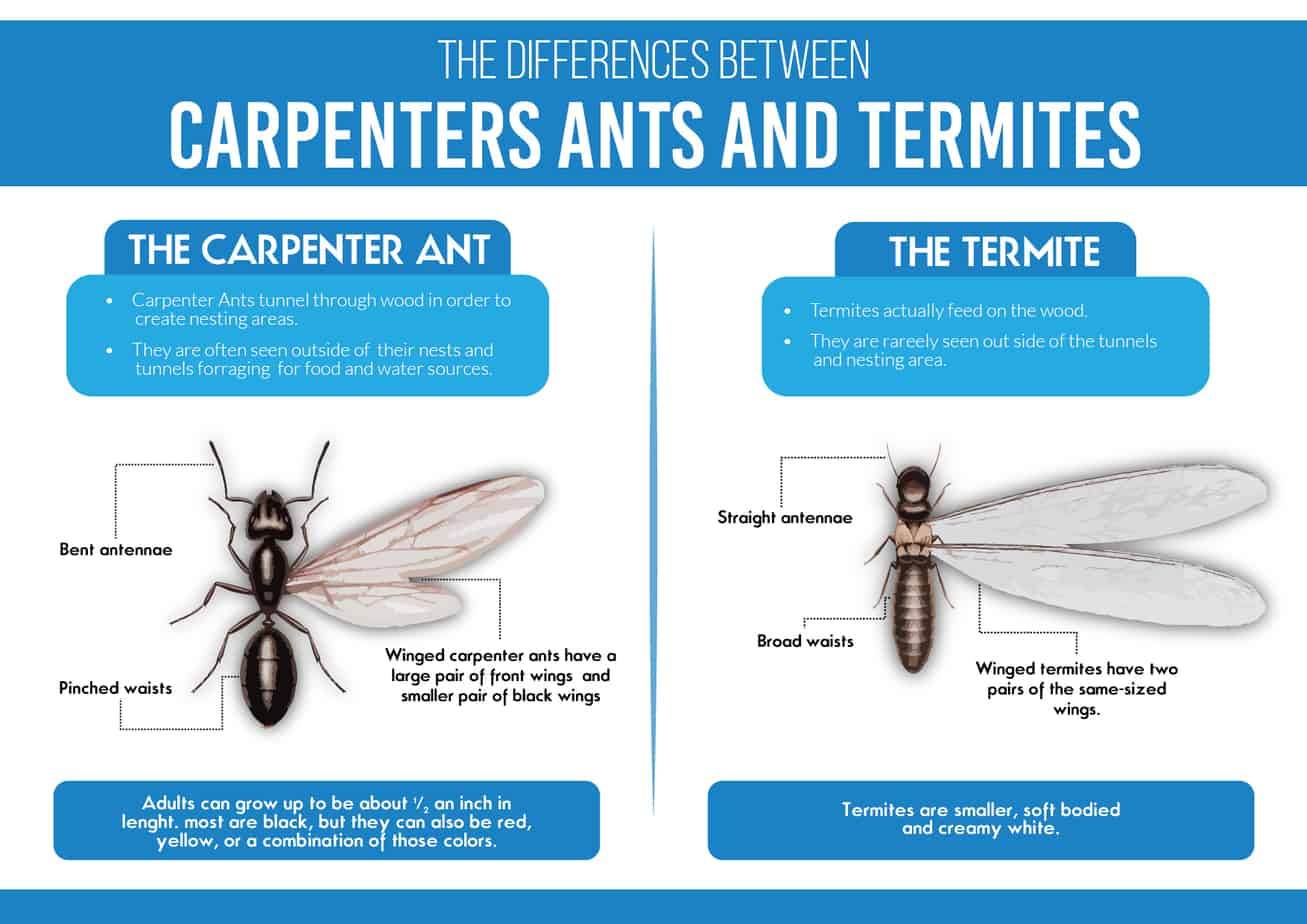 Carpenter Ants vs Termites
