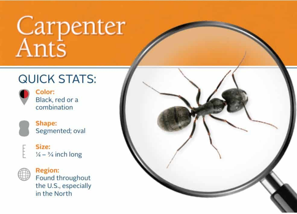 Carpenter Ant Control
