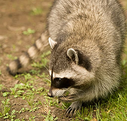 Rodent & Wildlife