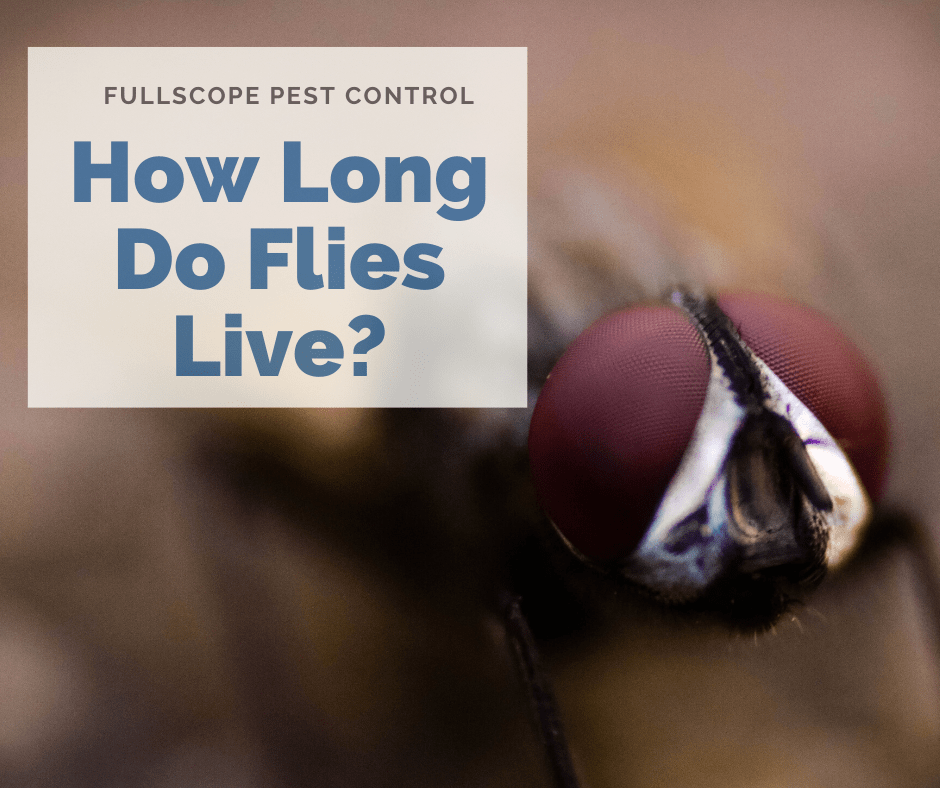 How Long Do Flies Live?