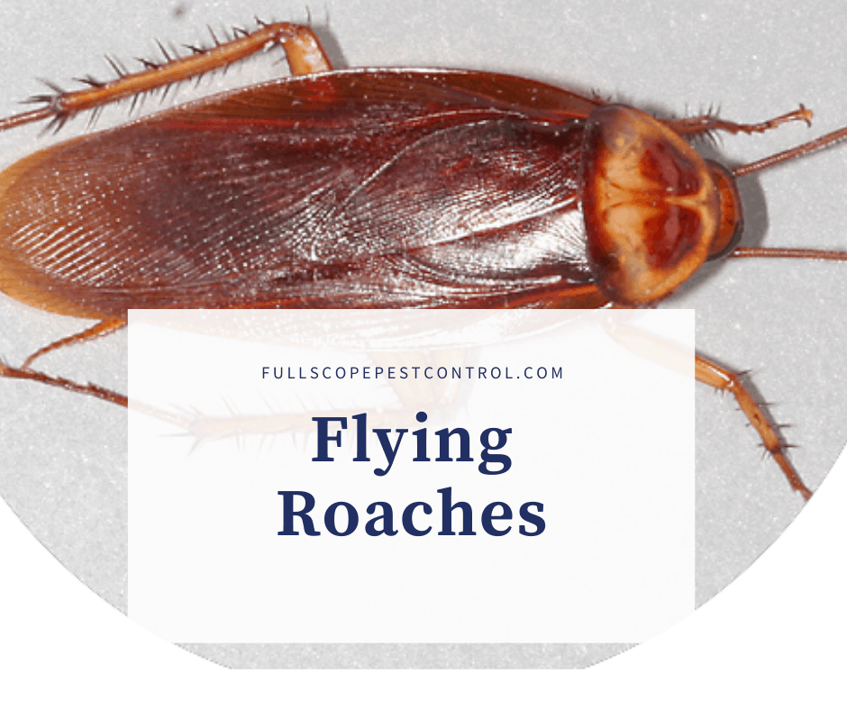 Flying Cockroaches