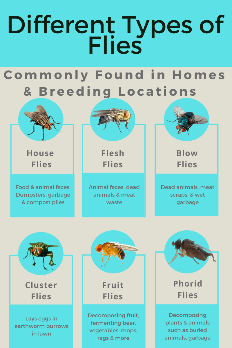 Common Flies in Houses