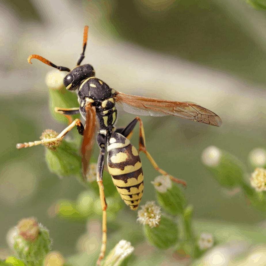 Yellow Jacket Wasp Conroe