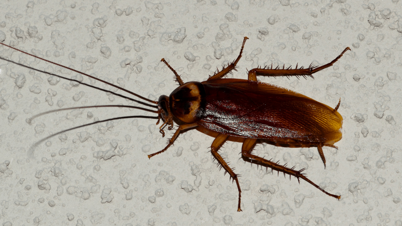 American Cockroach In New Caney, Texas