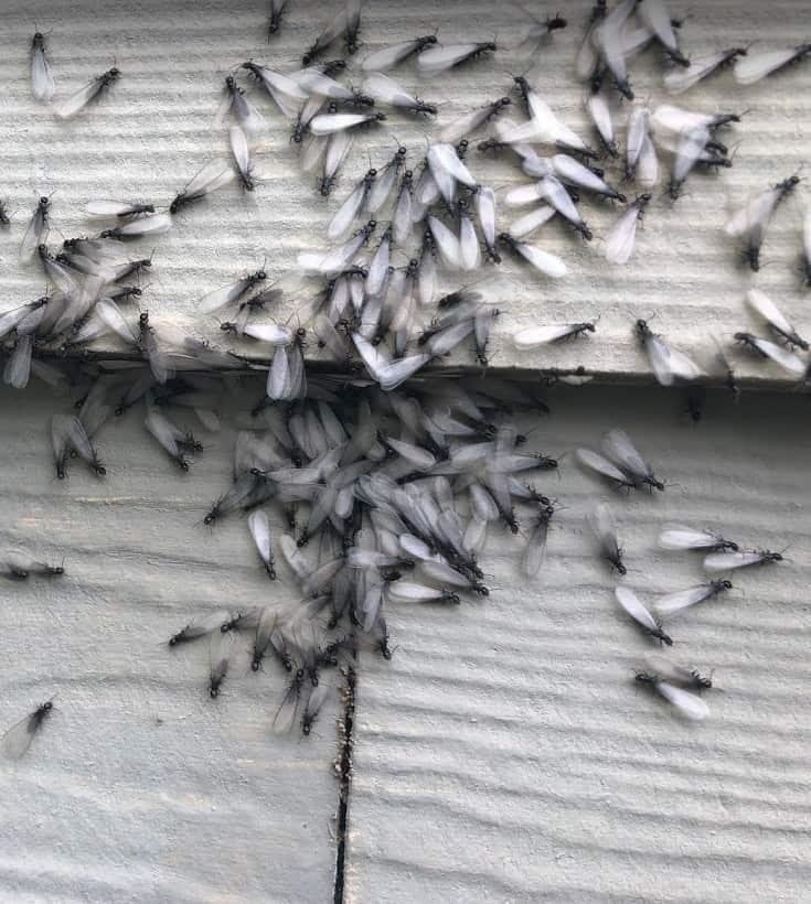 Termite Swarm in Porter Texas