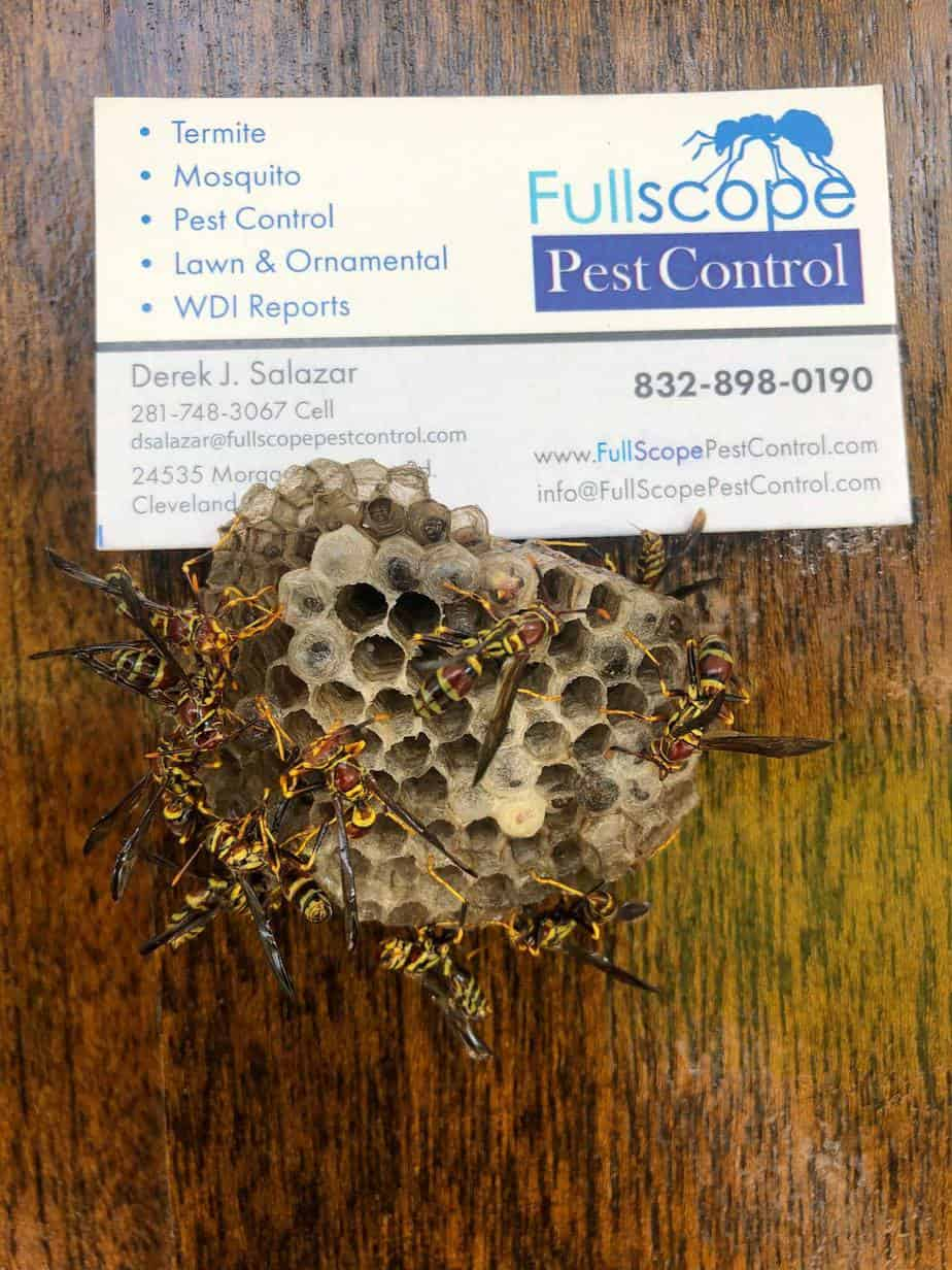 Wasps in Porter Texas