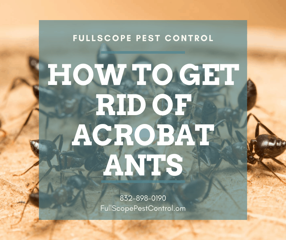 How to Get Rid of Acrobat Ants in Your Kingwood Home