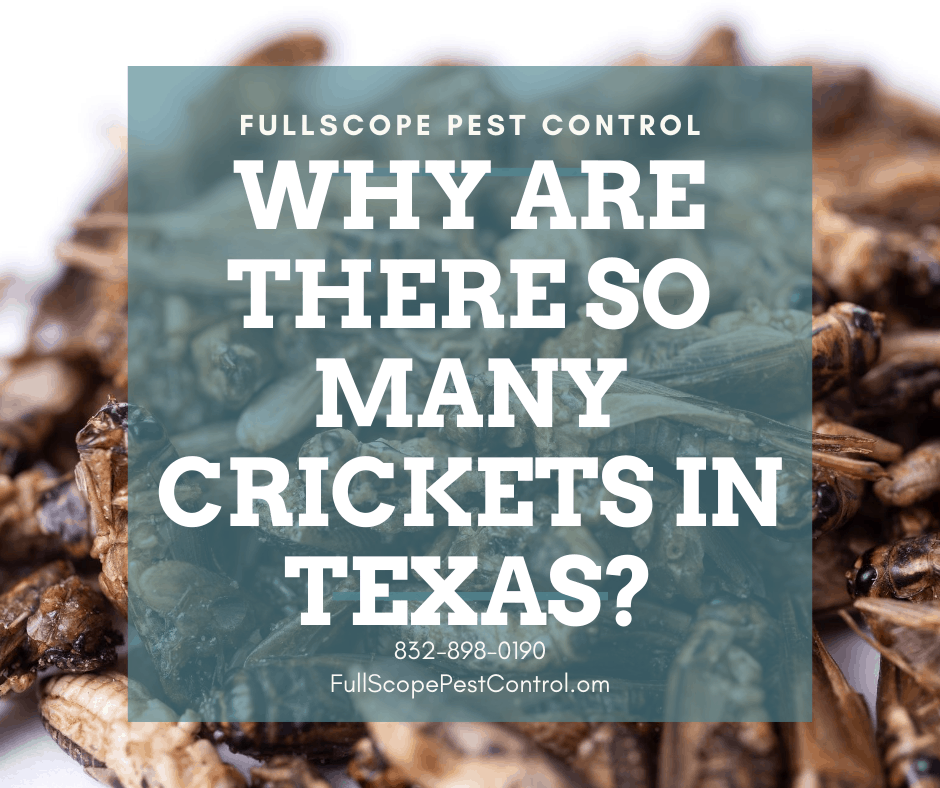 Why Are There So Many Crickets in Texas?