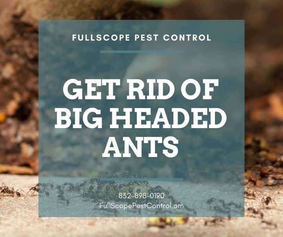 Learn How to Get Rid of Big-Headed Ants in Your Conroe Home