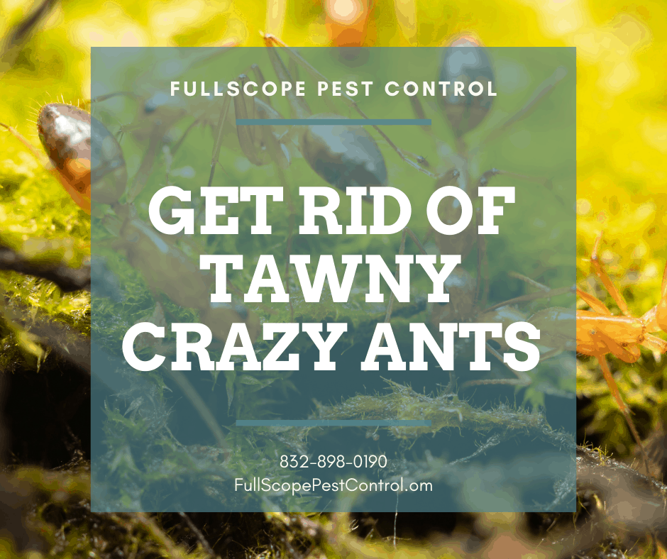 What You Should Know About Getting Rid of Tawny Crazy Ants in Your Porter Yard and Home