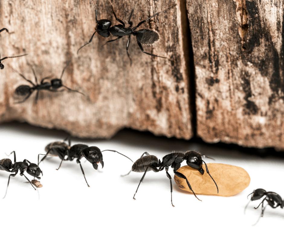 Prevent Carpenter Ants Kingwood