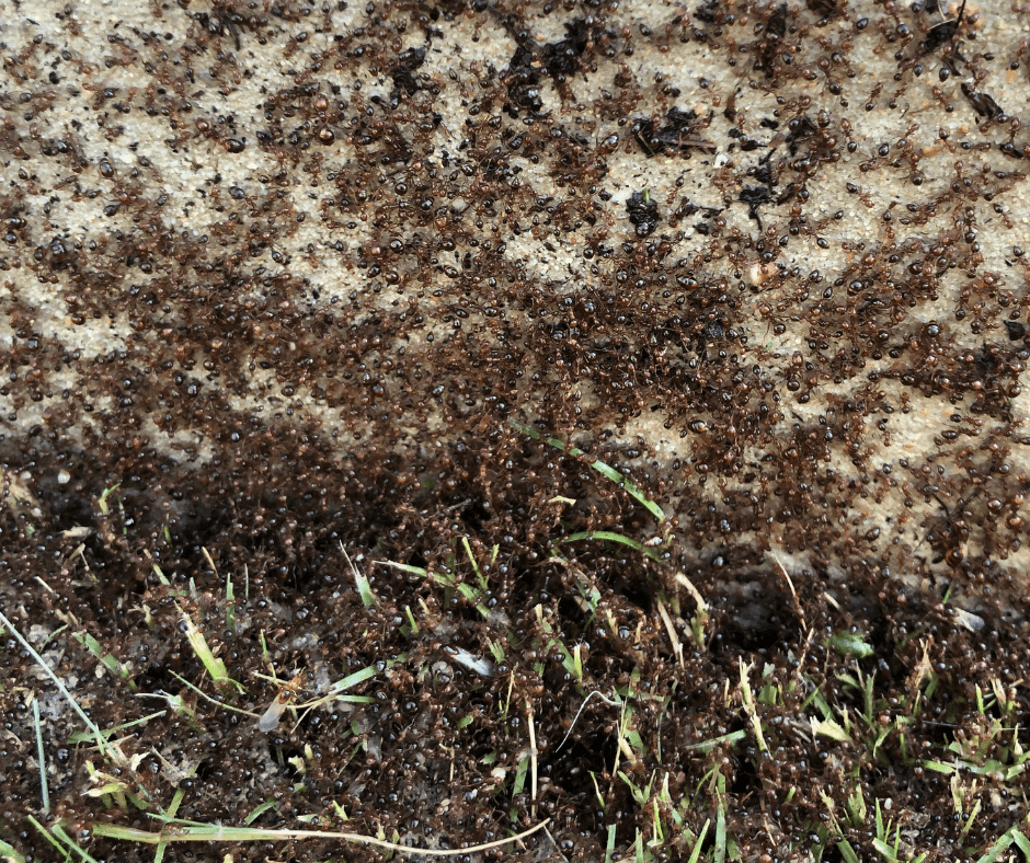 get rid of fire ants kingwood