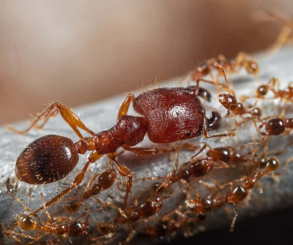 Get Rid of Big Headed Ants