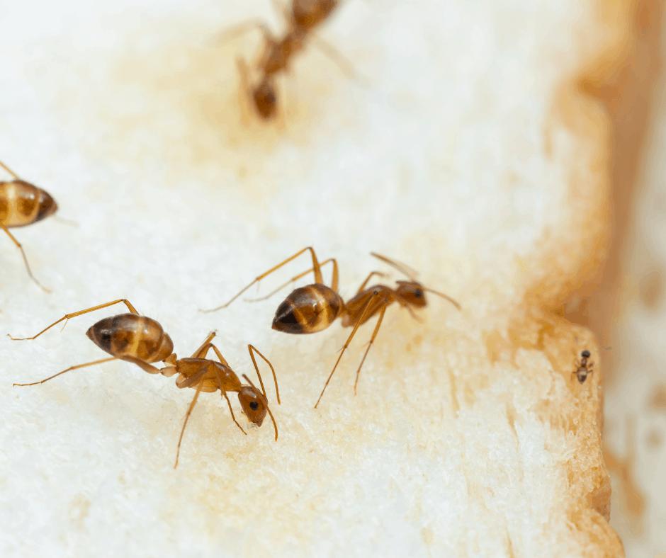 Get Rid of Tawny Crazy Ants