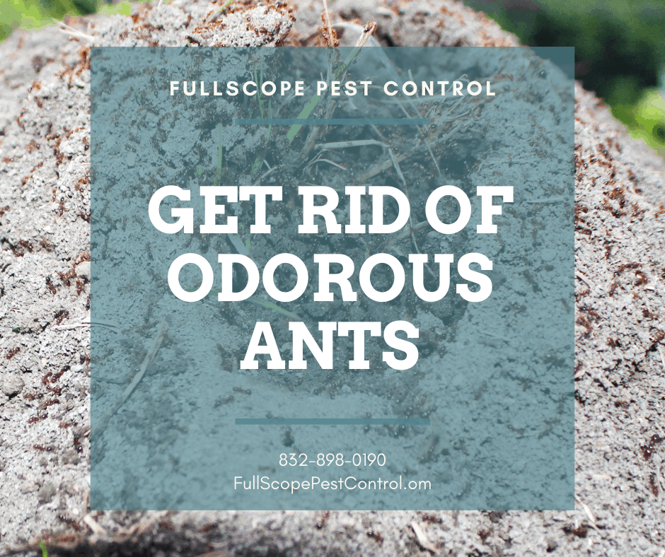 How to Get Rid of Odorous House Ants in Your Conroe Yard and Home