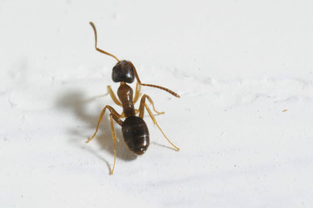 Odorous House Ant via Texas A&M