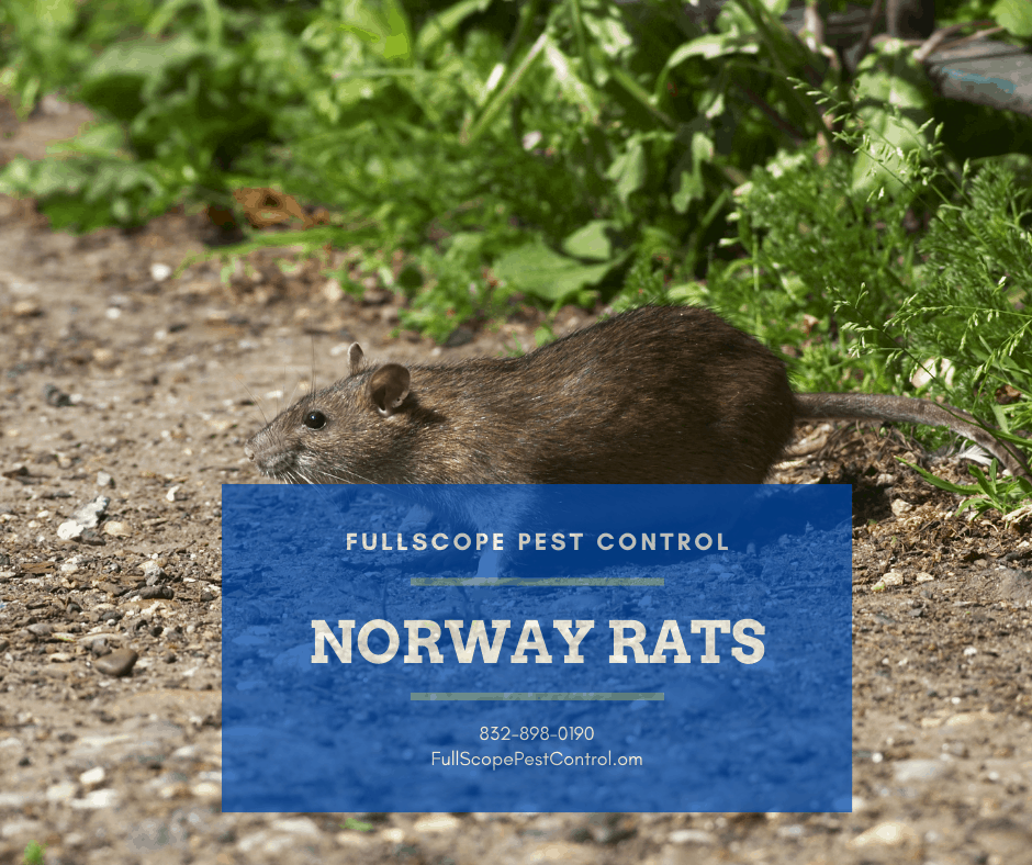 Get Rid of Norway Rats