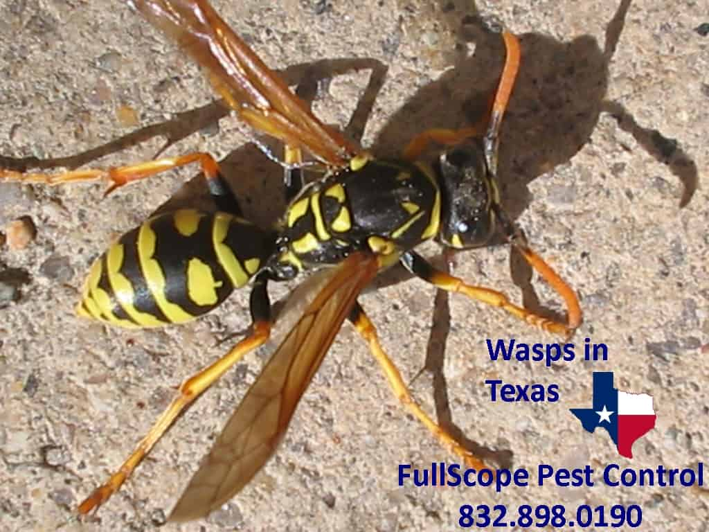 Wasps in Texas: What You Should Know