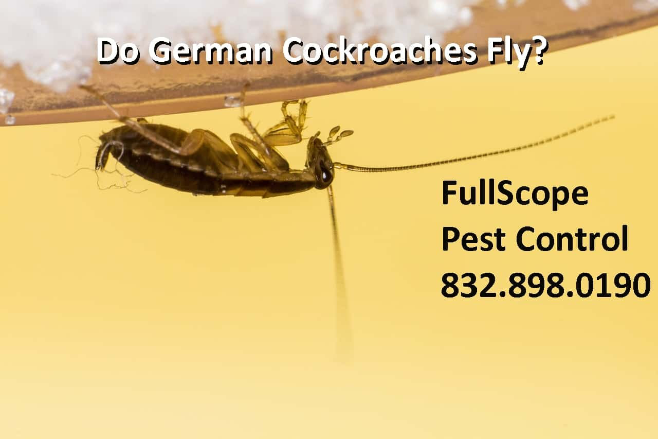 Do German Cockroaches Fly?