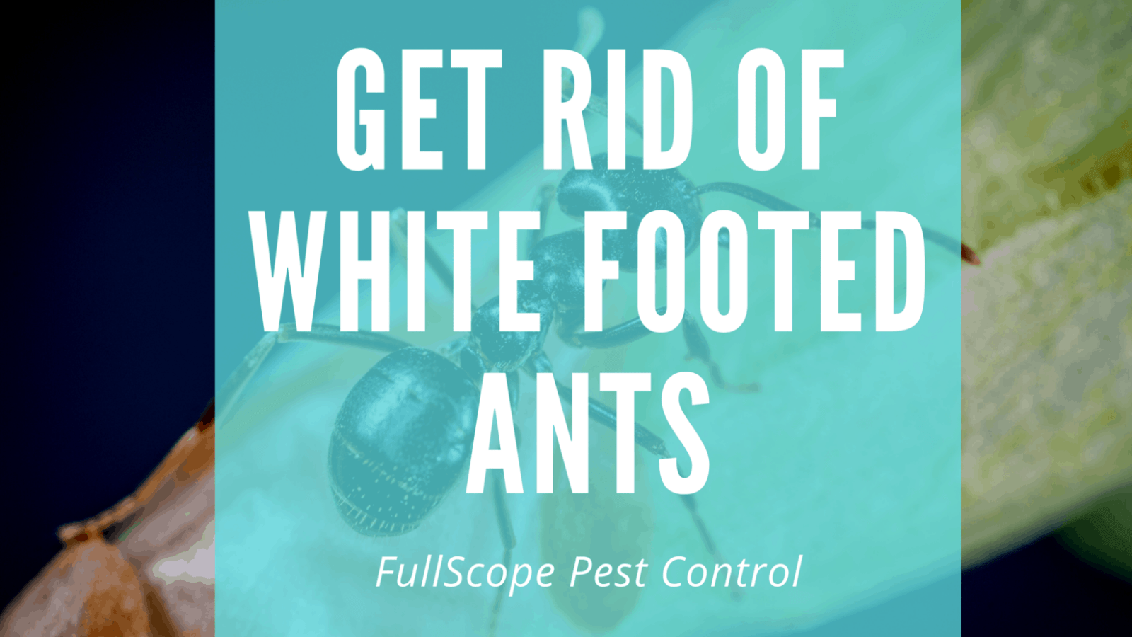 How to Get Rid of White-footed Ants in Your Humble, TX House and Yard