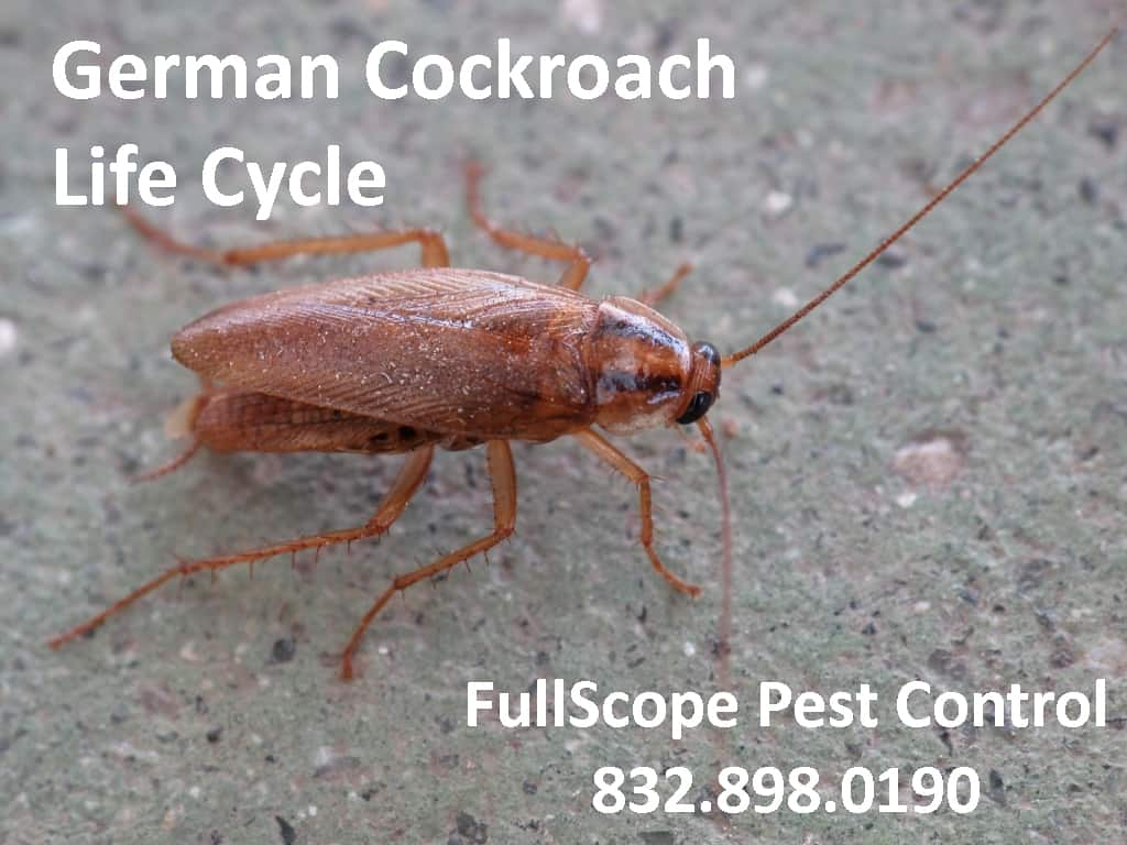 The German Cockroach Life Cycle