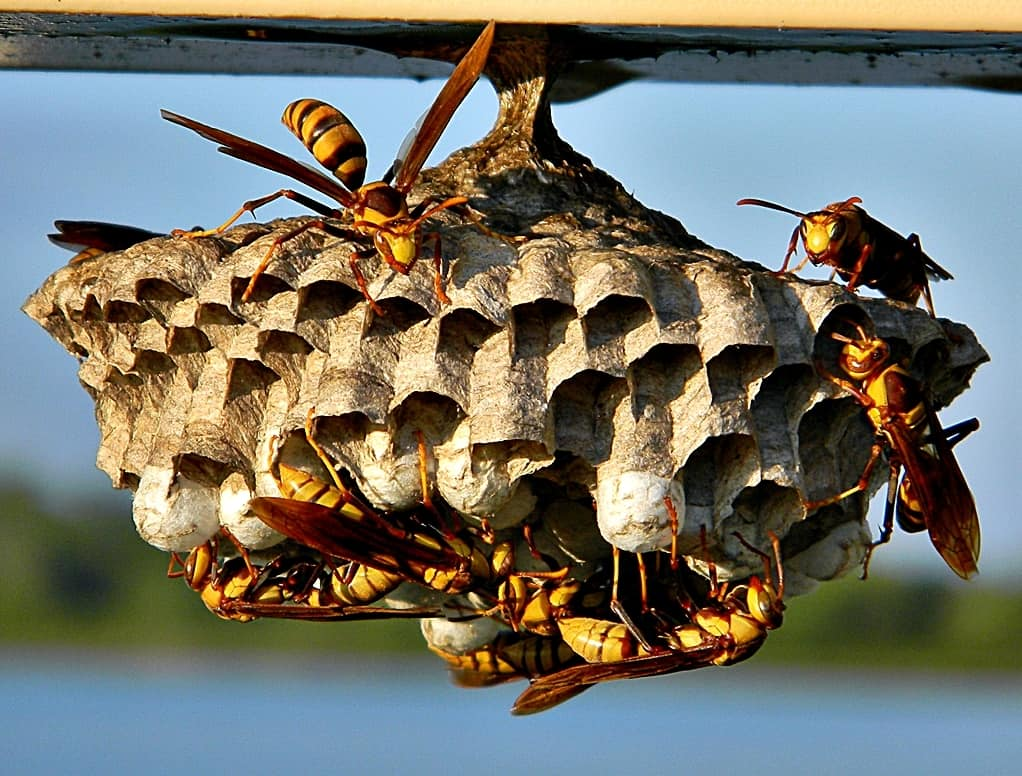 wasps removal