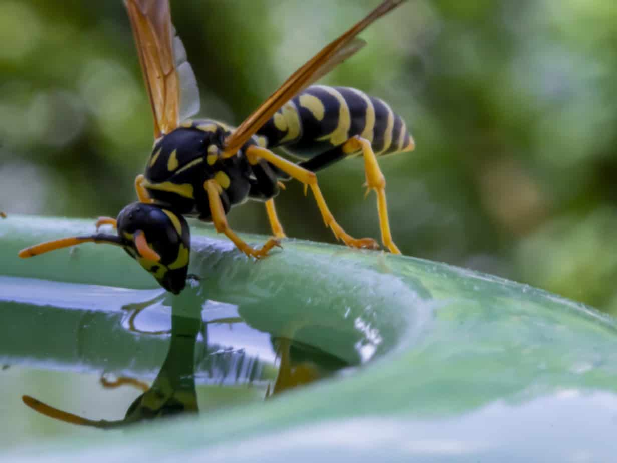 Wasp drinking water