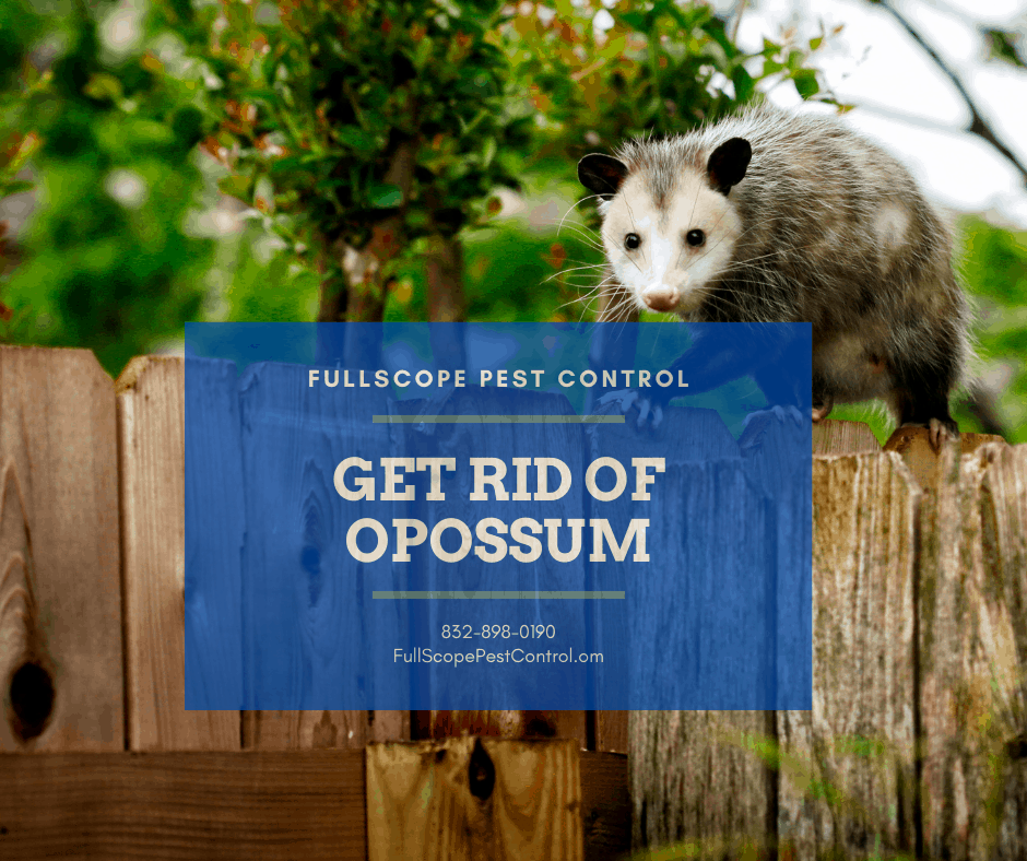 How to Get Rid of Opossum